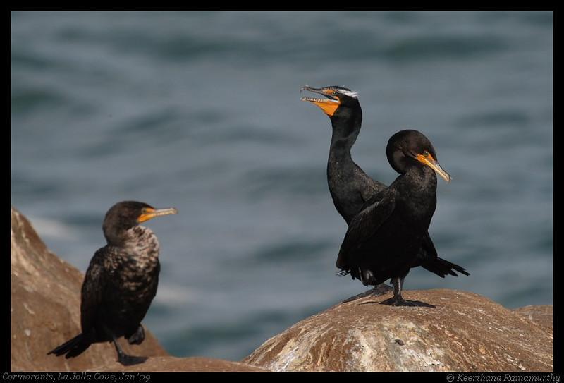 Double-Crested Cormorants, La Jolla Cove, San Diego County, California, February 2009