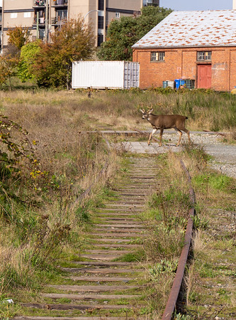 Wildlife take back the E&N yard in Victoria
