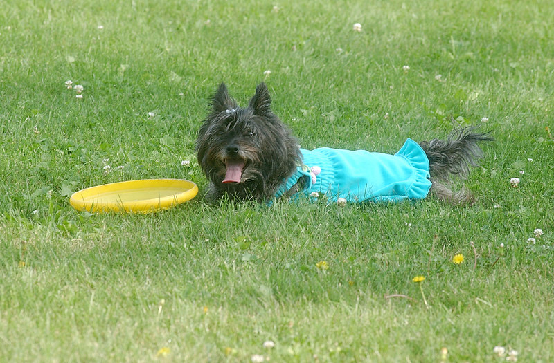 """This is my dog Dokken, a six-year old Cairn Terrier who is taking a break from playing with her frisbee My daughter Roxy likes to buy her dresses and put her into them. I of course think it ruins her """"Killer Reputation."""" Dokken is a champing mouser and likes to chase squirrels and rabbits."""