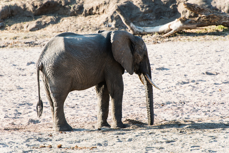 Elephant drinking water in a hole