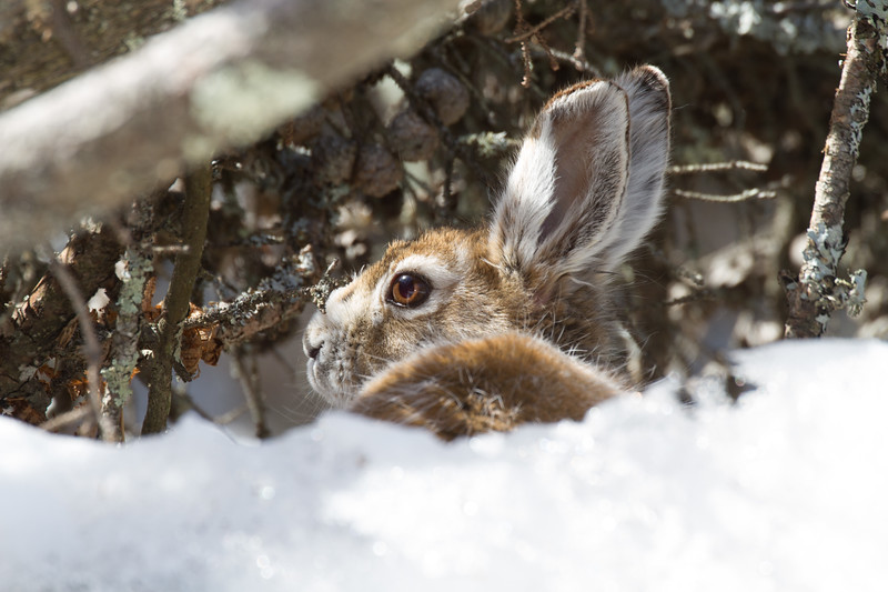 Snowshoe Hare turning brown Warren Nelson Memorial Bog Sax-Zim Bog MNIMG_1413.jpg
