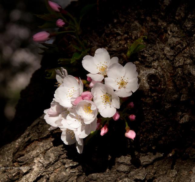 CherryBlossomSP-13.jpg