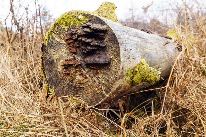 Felled pine log with fungus growing on it