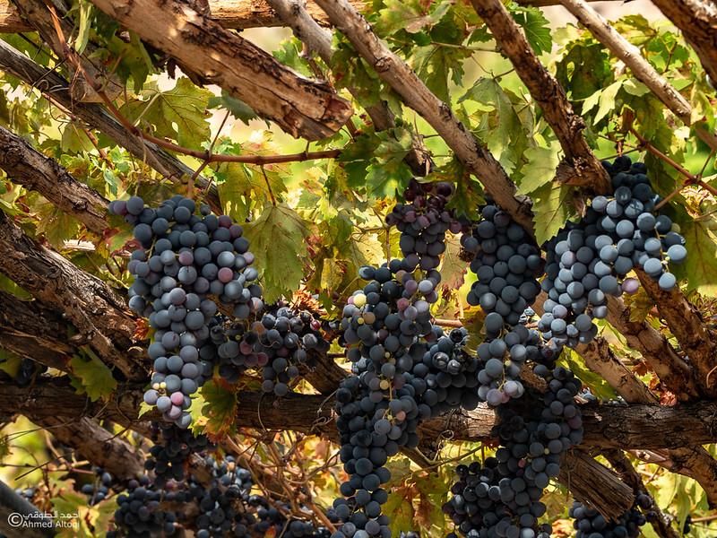 Grape - Wakan village - Nakhal229- Oman.jpg
