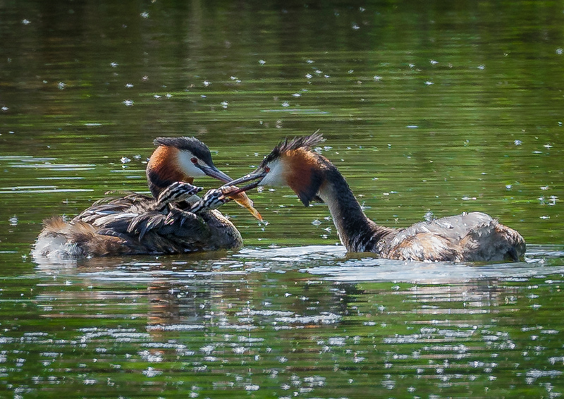 Great  Crested Grebes feeding young