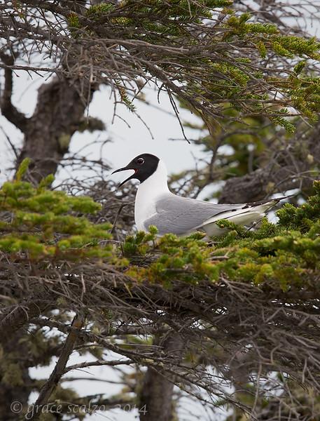 Bonaparte's Gull on Nest, Churchill, Canada, June 2014