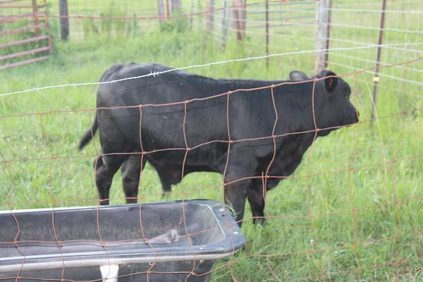 July 2017 Luke's Cows