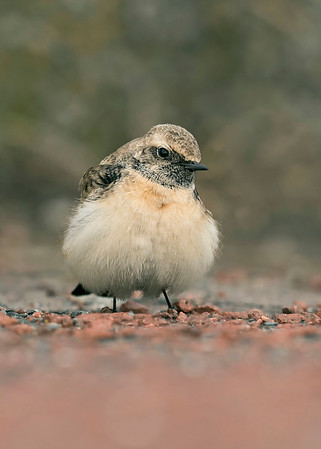 UK Rare/Scarce Birds 2012-2018