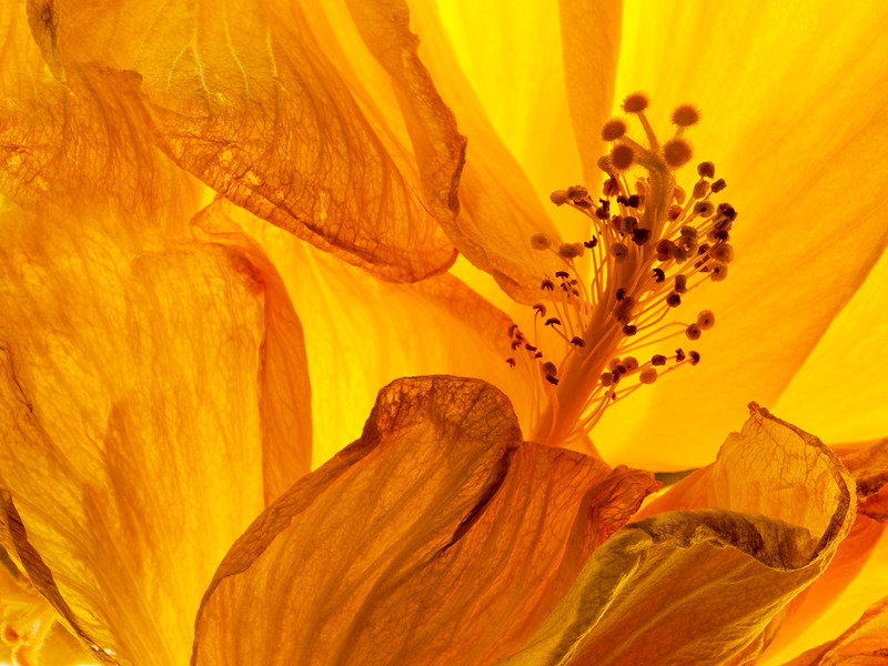 yellow-hibiscus-01.jpg