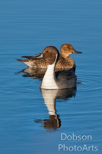 Nothern Pintail Ducks
