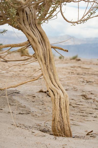 Death-Valley-Sand-dune-bush-roots-Spring2017.jpg