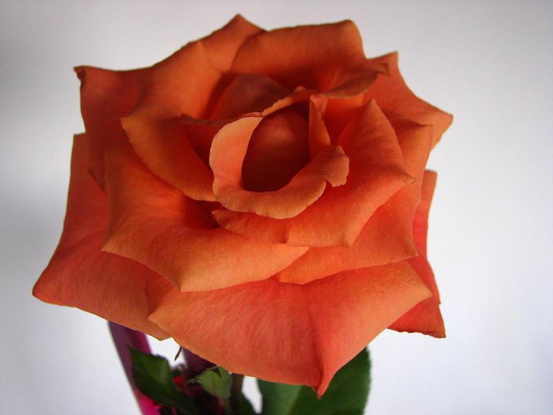 Rose 2708.jpg