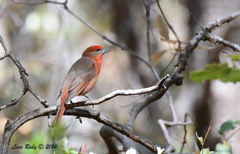 Hepatic Tanager- 4/20/2014 - Huachuca Canyon, Sierra Vista, Arizona