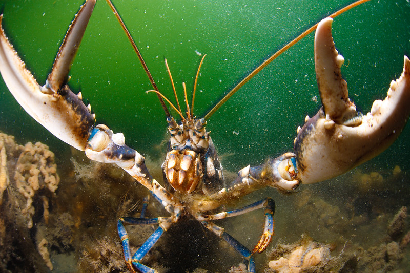 A European lobster charges the camera. Oosterschelde (Eastern Scheldt), the Netherlands.