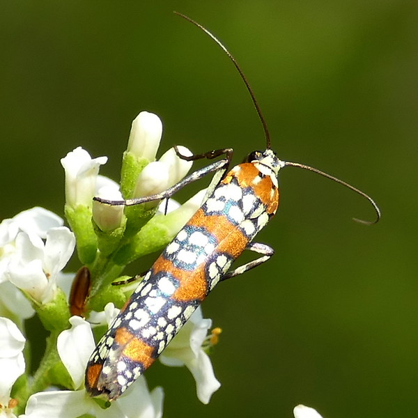 H02401  P184AttevaAurea622 Sep. 19, 2019  10:08 a.m.  P1840622 This is the Ailanthus Webworm Moth, Atteva aurea.  Their colors are always bright--they must not be tasty for birds!  Attevid.