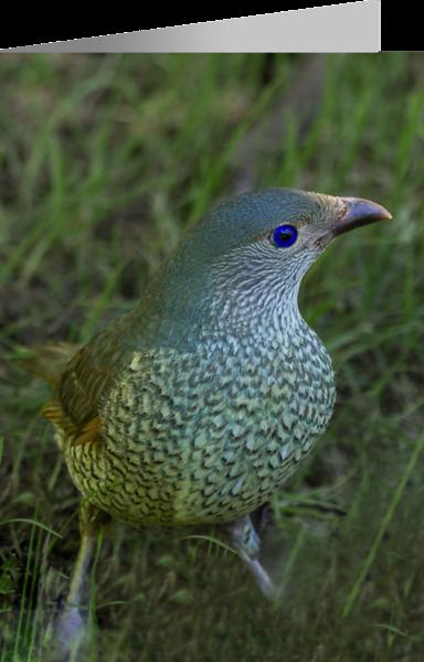 Satin Bowerbird Female.png
