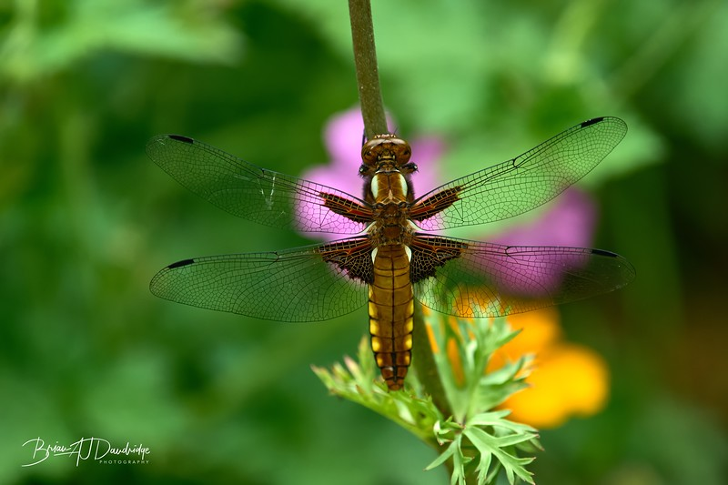 Broad-bodied Chaser-0250_DxO - 2-36 pm.jpg