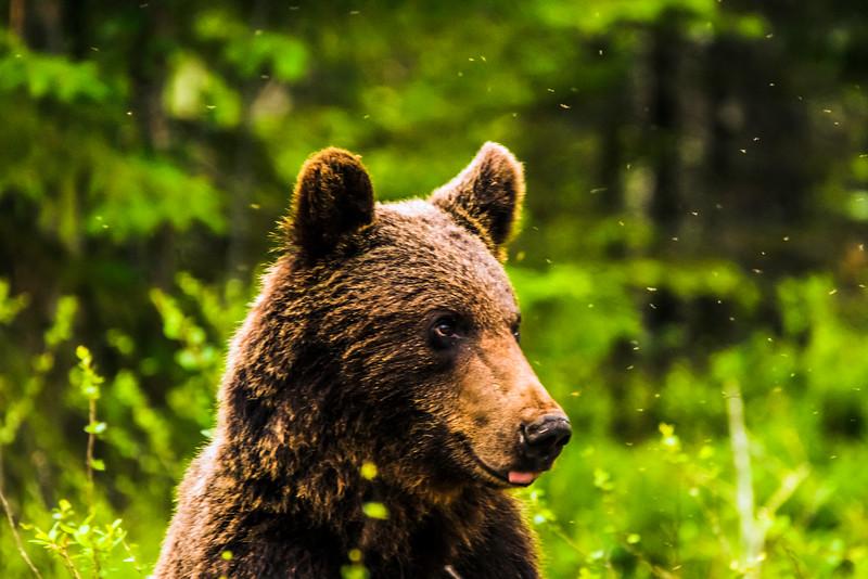 Brown bear - Ursus arctos - Karhu