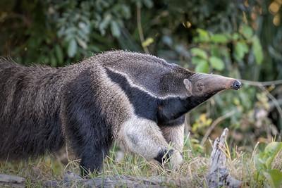 Mammals of South Pantanal