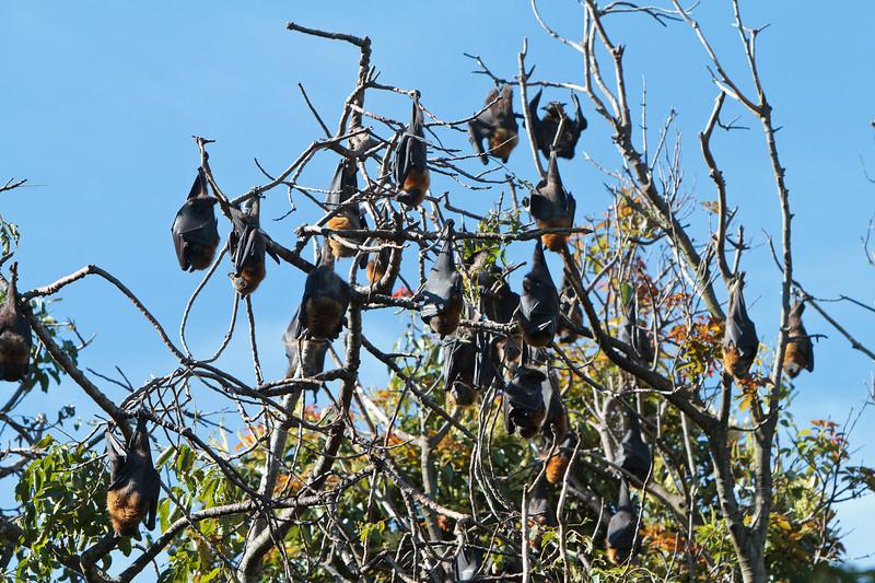 Sydney Botanical Gardens - A lot of bats!