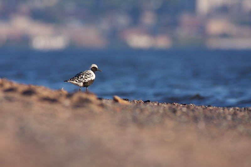 A Black-bellied Plover with nearly adult plumage stops over on Lake Superior on its way to Arctic breeding grounds [May; Park Point, Duluth, Minnesota]