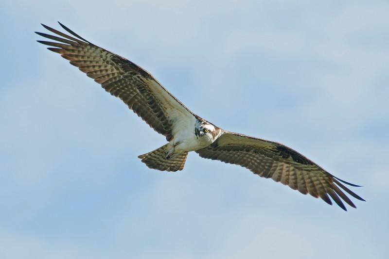 Osprey - Cayo Costa State Park, FL