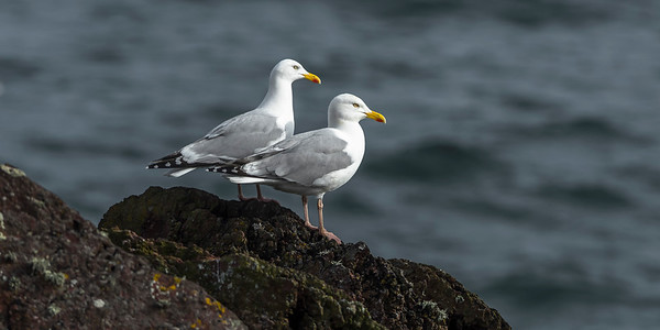 Greater Black-backed Gulls and Herring Gulls at Skokholm