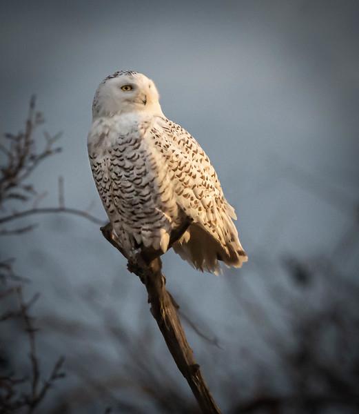 Snowy Owl on perch (sunrise)