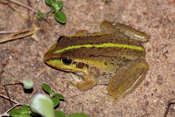 Striped Burrowing Frog
