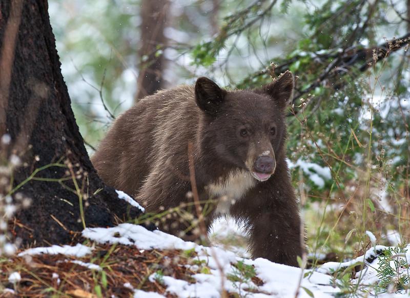 Young Black Bear, Sequoia National Park, California