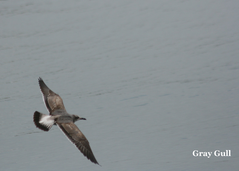 Gray Gull