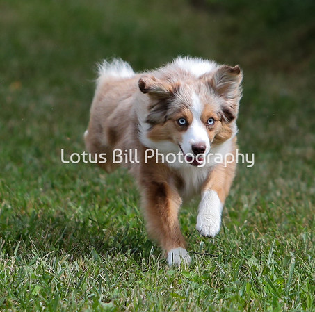 Red Merle Miniature American Shepherd SR2