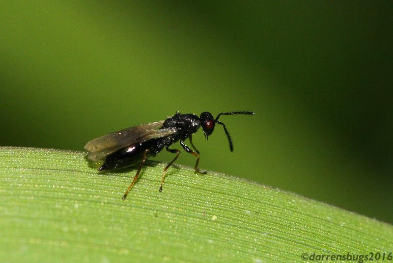 Tiny parasitic wasp from Iowa.