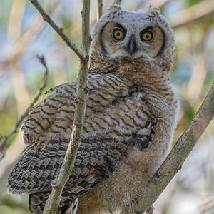 5-27-20 Great Horned Owlet