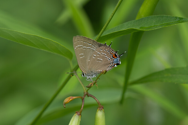 Banded Hairstreak butterfly, in Area 5 (Photo by Chelsea Marcantonio)