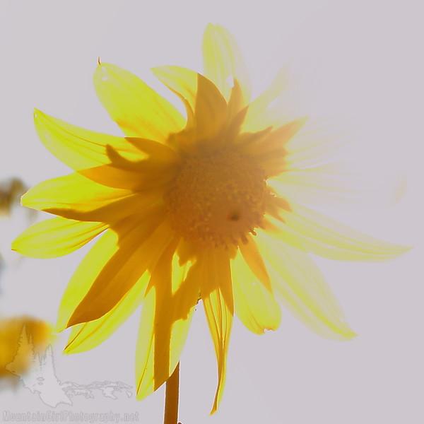 Sunflower Aglow