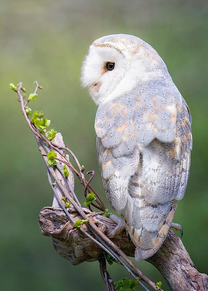 s 5x7 Gilli European Barn Owl In Spring.jpg