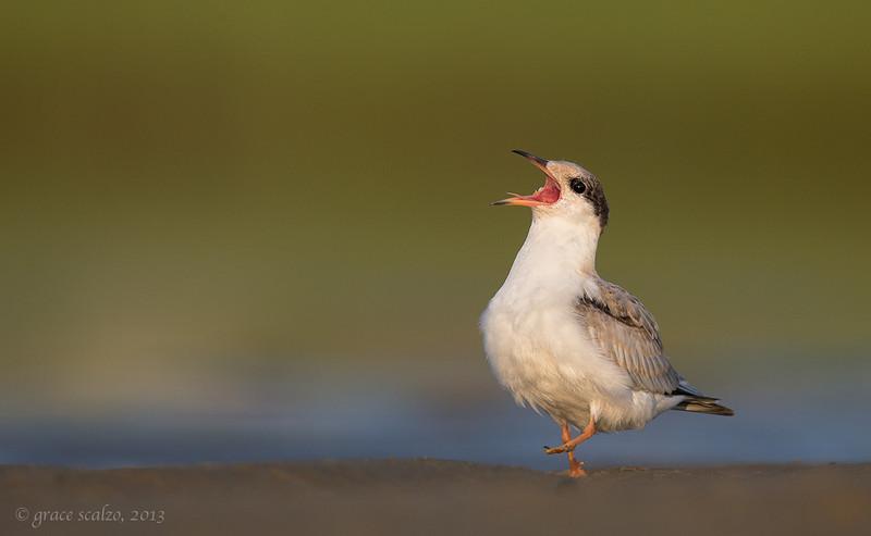 Common Tern Juvenile Begging