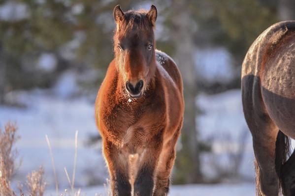 11 2013 Nov 27 Alberta Wild Horses - Band 8 Morning Sunshine