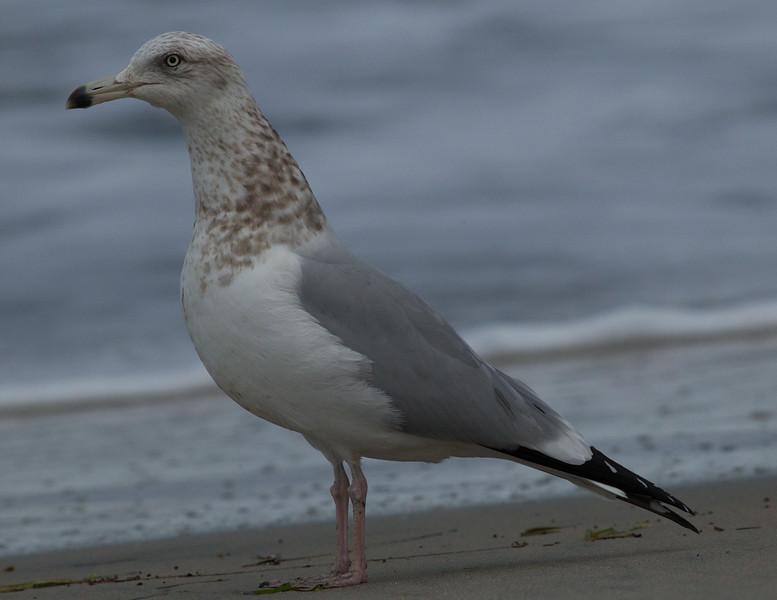 Herring Gull  Ponto Beach 2015 01 30-5.CR2