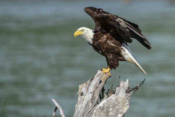 8-03-14 Bald Eagle Hyder