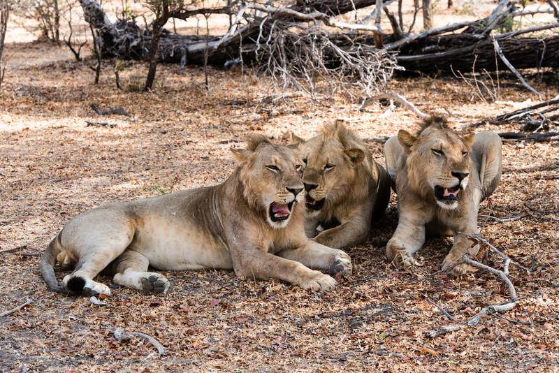 Three Lions, Selous Reserve