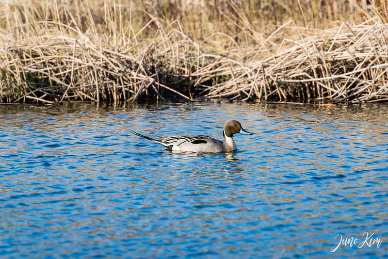 2020-05-12_Potter Marsh bird-_6109474-Juno Kim.jpg
