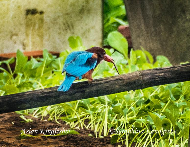 _DSC8237Asian KIngfisher.jpg