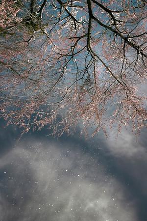 Cherry blossom snow