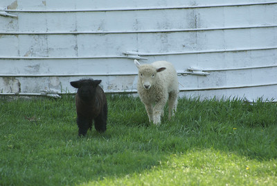Severna Farm Lambs