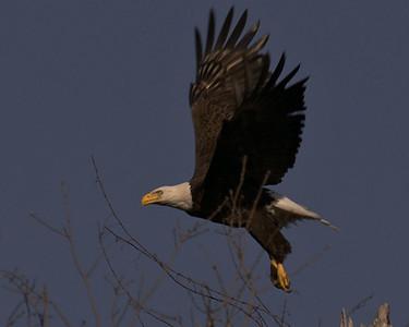 Baytown Bald Eagles - Bathed in Sunshine on 022110