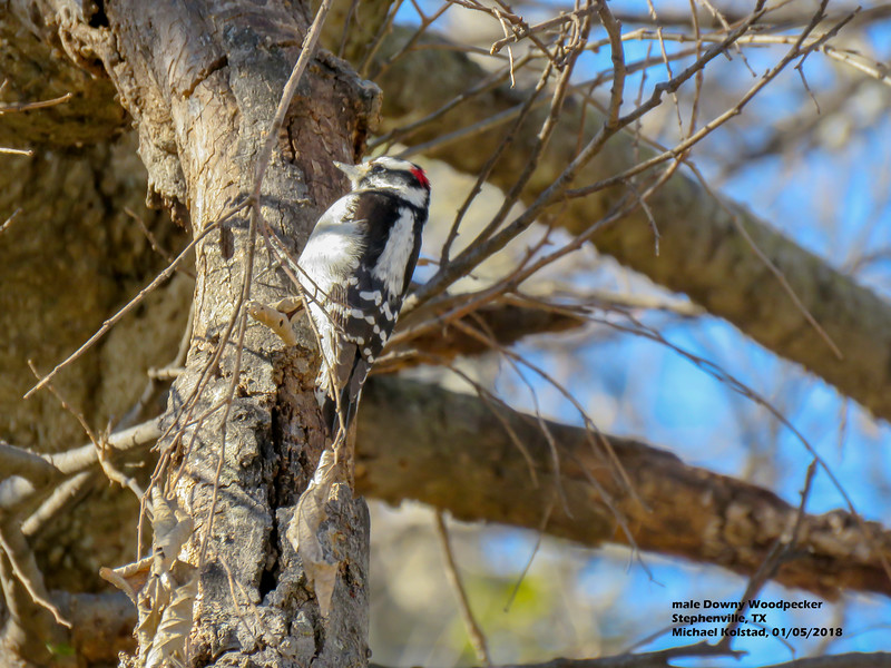 IMG_9311 3T ml Downy Woodpecker Stephenville TX 0105 1349.jpg