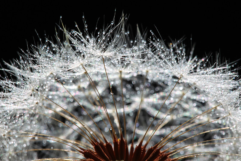 Dandelion with Dews