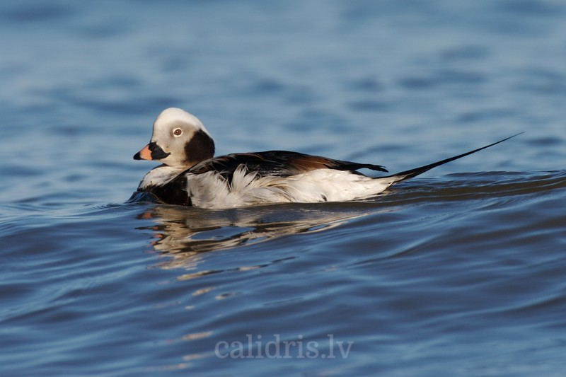 Long-tailed Duck  (ad. non-breading, male)